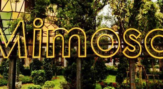 mimosa-photo