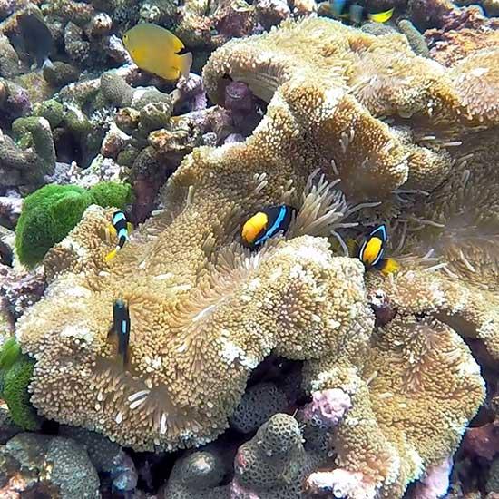 Coral-Surin